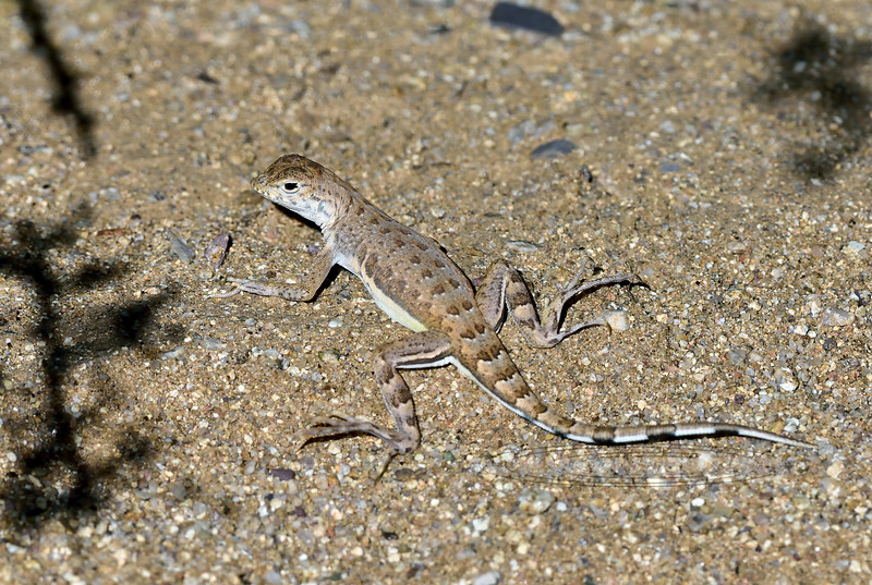 Lizard, Callisaurus draconoides. The Zebra-Tailed Lizard. A female in typical habitat on a dry wash of fine material. Pima County Arizona.