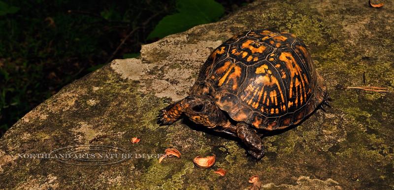 Turtle-Terrapene carolina 2010.5.11#131. Eastern Box. Upper Black Eddy, Pennsylvania.