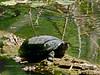 Turtle, Sonoran Mud. Hassayampa, Maricopa County Arizona. #611.129.