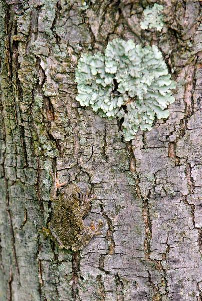 FT-Cope's Tree Frog. Bucks County, PA. #513.189.