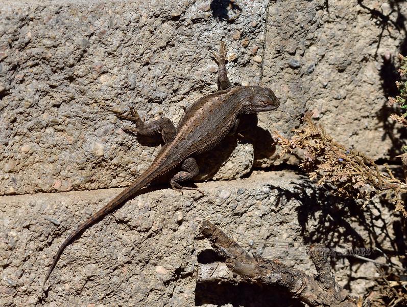Lizard, Sceloporus tristichus 2019.4.20#007. Plateau Fence Lizard. Prescott Valley Arizona.