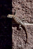 Lizard, Sceloporus occidentalis, A Desert Spiny species. Cathedral Gorge Nevada. #630.175.