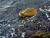 Turtle-Chelonia mydas 2015.2.4#265. Green Sea turtle feeding in the algae on low tide. Kiholo Bay, Hawaii.