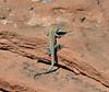 Lizard-unknown species 2019.10.13#969.3. Lake Mead Nevada.