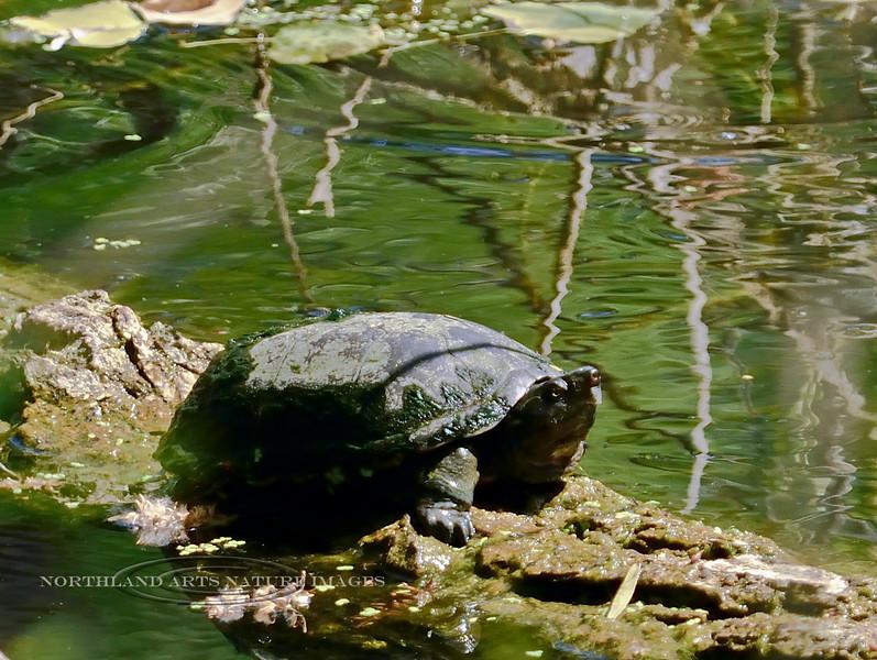 TURTLE-Sonoran Mud Turtle 2017.6.11#129.4. Kinosternon sonoriese. Hassayampa Preserve, Maricopa County Arizona.
