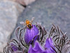 I-Bee-Apis melifera. Honey Bee on Pasque flowers. Anchorage Alaska. #512.086.