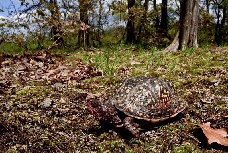 Turtle-Terrapene carolina 2016.5.7#927.3. Eastern Box Turtle. Penn's Woods, Bucks County Pennsylvania.