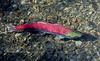 FISH-FRESH WATER-Salmon, Red 2012.8.3#131.3. A spawning fish. Trail Creek, Kenia Peninsula Alaska.