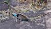 Lizard-Sceloporus magister 2021.5.14#3269.3. A beautiful  male Desert Spiny Lizard. Hassayampa, Arizona.