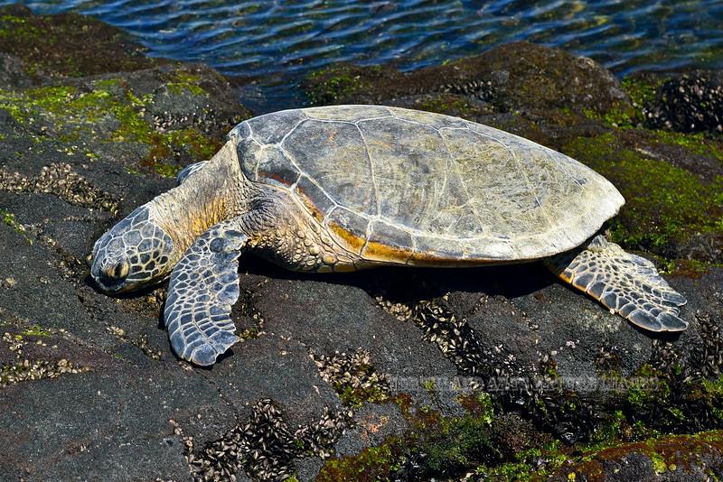 Turtle-Chelonia mydas 2015.2.7#340. Green Sea sleeping. Near Honokohau Bay, Hawaii.