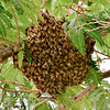 I-Bee, Honey swarm. Yavapai County Arizona. #613.011.