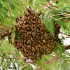 I-Bee-Apis  mellifera. Honey Bee swarm. Yavapai County Arizona. #613.011.