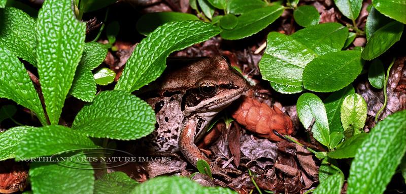 FT-Wood Frog: Glennallen,Alaska. #629.3. Scanned from old film stock.