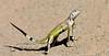 Lizard-Callisaurus draconoides 2017.8.8#219.2. A Zebra tailed lizard protesting me being near his territory. Hassayampa River, Maricopa County Arizona.