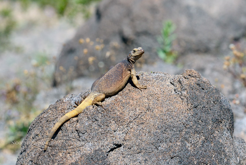 Lizard-Sauromalus ater 2019.3.6#236. Chuckawalla. A female basking on a rock. Maricopa County Arizona.