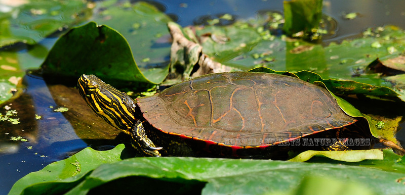 Turtle, Northern Red-bellied Cooter. Bucks Co.,PA. #429.158.