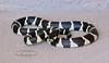 Snake-Lampropeltis getula 2020.5.3#0955.4. Arizona King Snake. Prescott Valley Arizona.