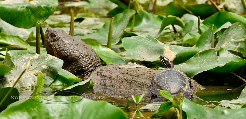 """Turtle, Eastern Painted resting on a """"mossyback"""" Snapping Turtle. Bucks Co.,PA. #428.071."""