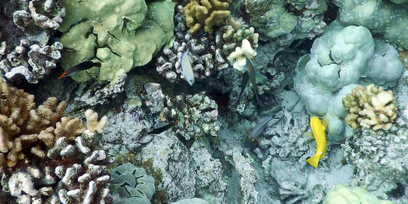 Fish-Marine 2015.2.5#253. Reef fish. Kealakekua Bay, Hawaii.