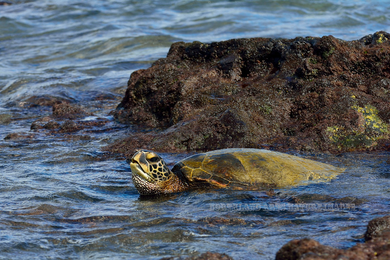 Turtle, Green Sea. Kiholo bay, Hawaii. #24.223. 3x4 ratio format.