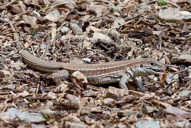 Lizard, Aspidoscelis sticktogramma, The Giant Spotted Whiptail species digging some sort of grubs. Pima County Arizona. #51.314.