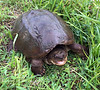 Turtle-Chelydra serpentina 2021.6.3#5849.2X. A Common Snapping Turtle. Bucks County Pennsylvania. Photo by Guy J.