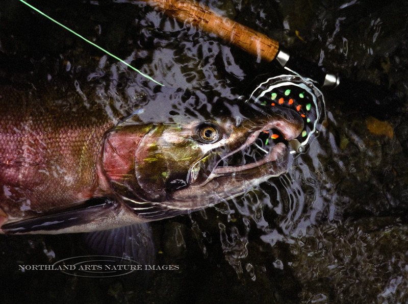 F-Silver Salmon. Russian River,Alaska. #99.5.