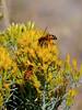 "I-Bee-Apis melifera. The Honey  Bee. Showing pollen ""saddlebags"". Nat.Bison Range Montana. #912.3120."