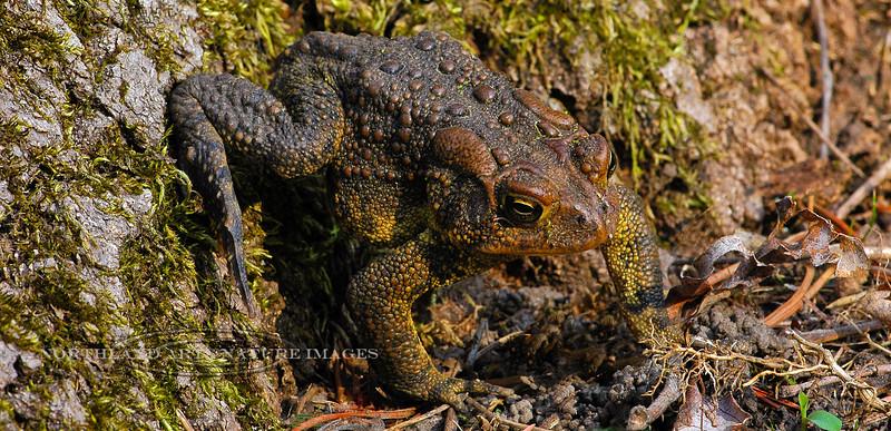 FT-American Toad. Upper Black Eddy,PA. #423.680.