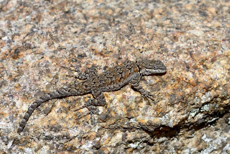 Lizard, Urosaurus ornatus, Ornate Tree species. The Dells, Yavapai County Arizona. #427.261.