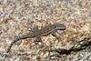 Lizard, Urosaurus ornatus, Ornate Tree species. The Dells, Yavapai County Arizona. #427.261.