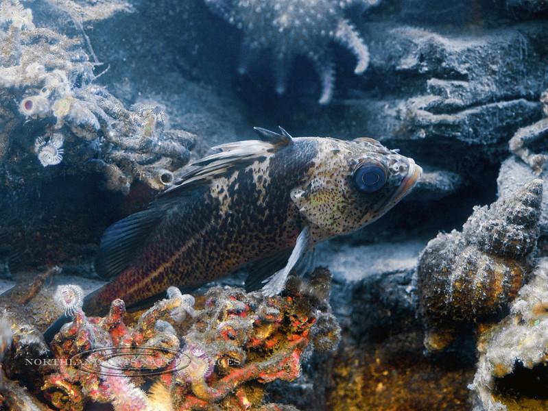 F-Rockfish,Vermilion, juvenile. Sea Life Center, Seward. #329.0315.