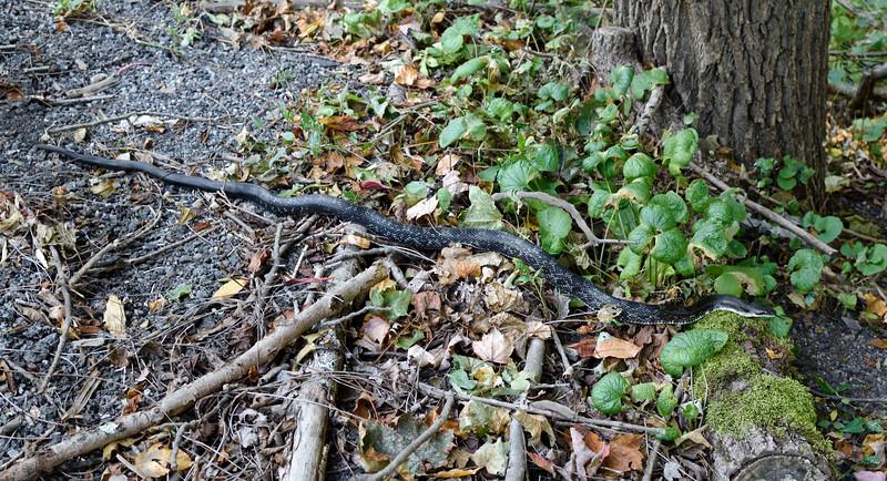 Snake-Pantherophis alleghaniensis 2020.9.23#1682.3. Eastern Black Rat Snake. Penn's Woods, Pennsylvania.