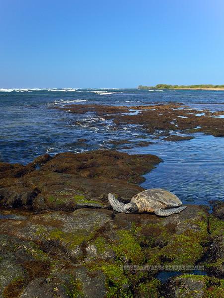 Turtle, Green Sea. Kona coast, Hawaii. #27.345. 3x4 ratio format.