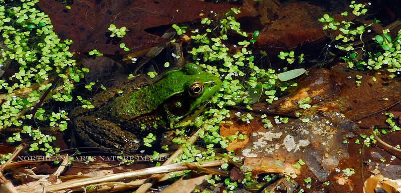 FT-Green Frog. Bucks Co.,PA. #418.176.