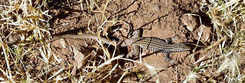 Lizard-Aspidoscelis tigris 2019.6.1#018. A Tiger Whiptail. Montezuma's Castle Nat. Monument Arizona.