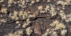 Snake-Pituophis catenifer 2018.4.16#306. A Bull/Gopher snake. Wupatki Nat. Monument, Arizona.