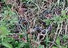 Snake, Ribbon 2008.4.29#228.3. Bucks County,PA