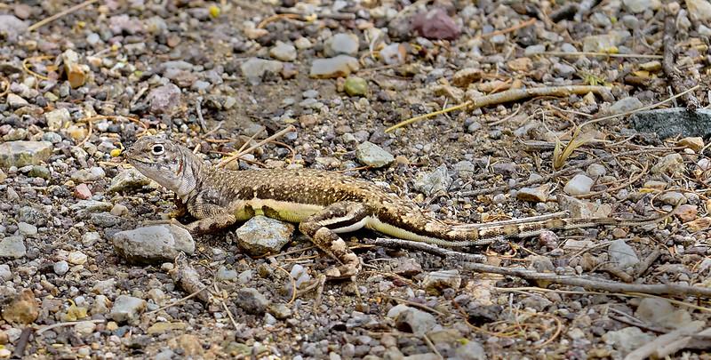 Lizard, Cophosaurus texanus, Greater Earless species. Sonora Desert, Pima County, Arizona. #51.424.