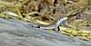 Desert Grassland Whiptail Lizard 2017.7.6#102. Aspidoscelus uniparens. Page Springs, Coconino County Arizona.