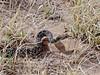 Snake-Pituophis catenifer 2018.4.16#286. A Bull/Gopher snake. Wupatki Nat. Monument, Arizona.