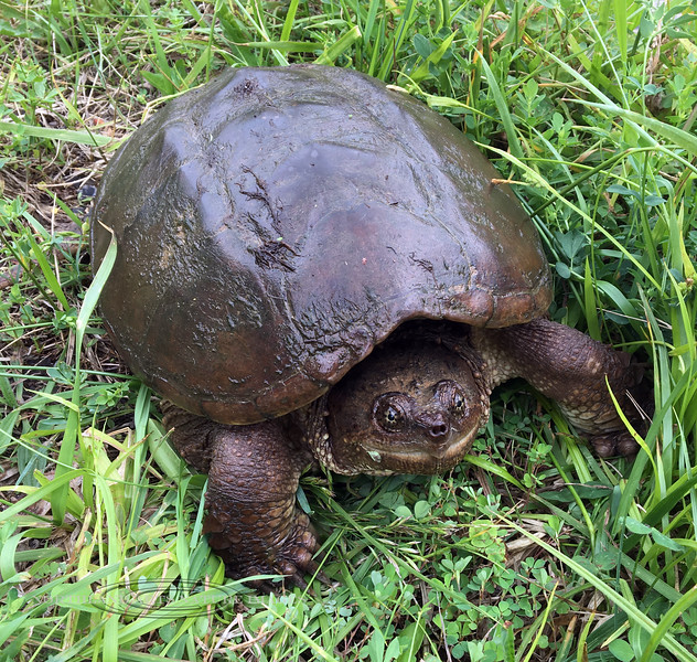 Turtle-Chelydra serpentina 2021.6.3#5850. A Common Snapping Turtle. Bucks County Pennsylvania. Photo by Guy J.