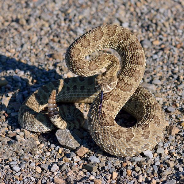 Snake, Crotalus viridis, The Prairie Rattlesnake. A venomous pit viper. Eastern Wyoming. #76.4753.