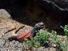 Lizard, Sauromalus ater, Chuckawalla 2019.3.6#460. Maricopa County Arizona.