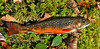 F-Native Eastern Brook Trout. Pike Co.,PA. #415.0012.