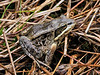FT-Wood Frog. Willow Creek, Alaska. #713.030. 3x4 ratio format.