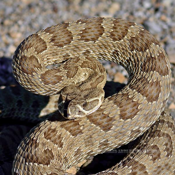 Snake, Crotalus viridis, The Prairie Rattlesnake. A Pit Viper. Eastern Wyoming. #76.4769.