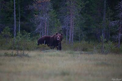 Björn, en stor äldre hanne