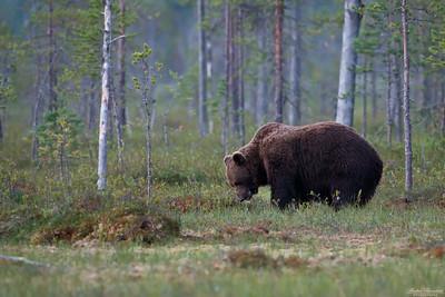 Björn som äter blåbär