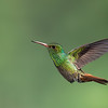 Rufous-tailed Hummingbird ♂